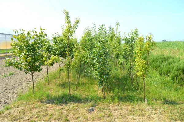 Laura is experimenting with the re-introduction of traditional fruit trees