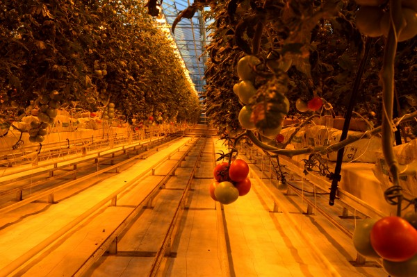 Fridheimar Farm uses geothermal heat and energy to grow its tomatoes and cucumbers