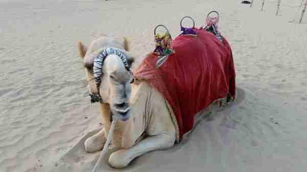 tinggly camel