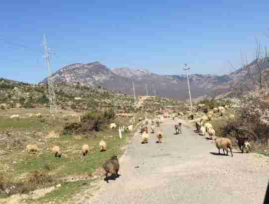 albania goats on road