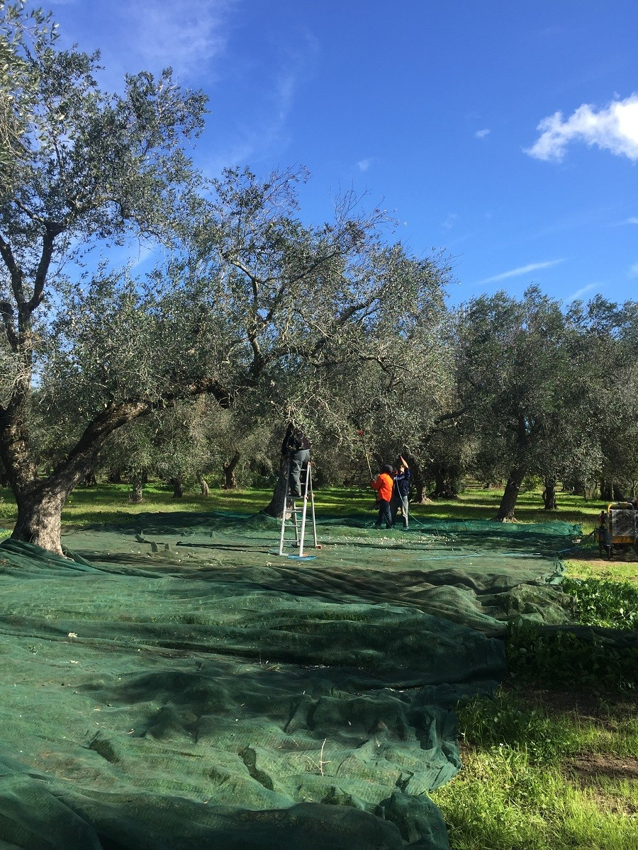 olive picking nets on ground